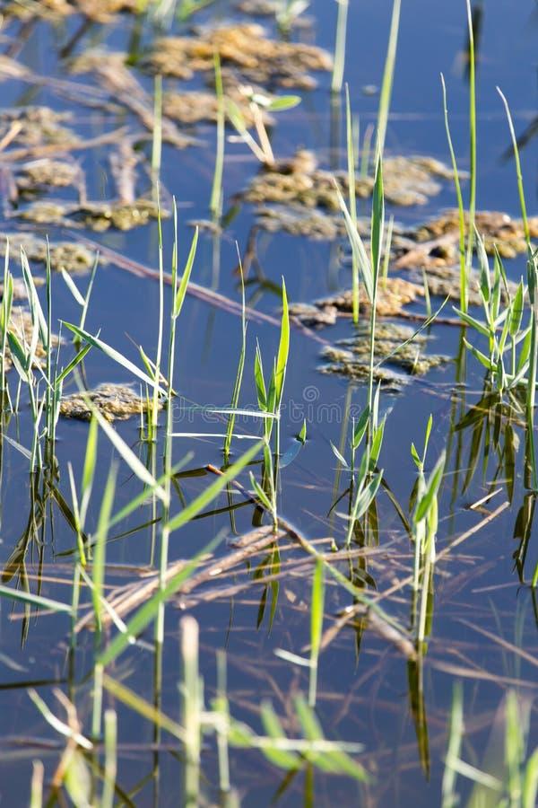 Κάλαμοι στο νερό στη λίμνη στη φύση στοκ εικόνα με δικαίωμα ελεύθερης χρήσης