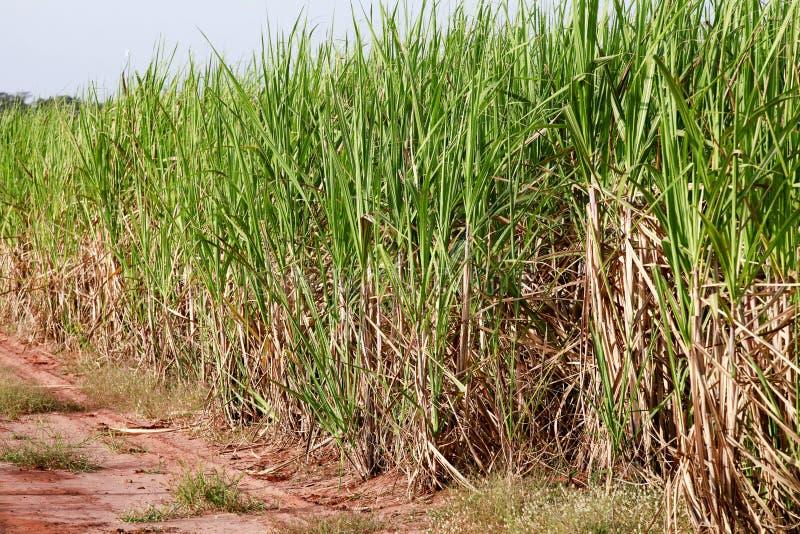 Κάλαμος ζάχαρης στοκ φωτογραφία με δικαίωμα ελεύθερης χρήσης