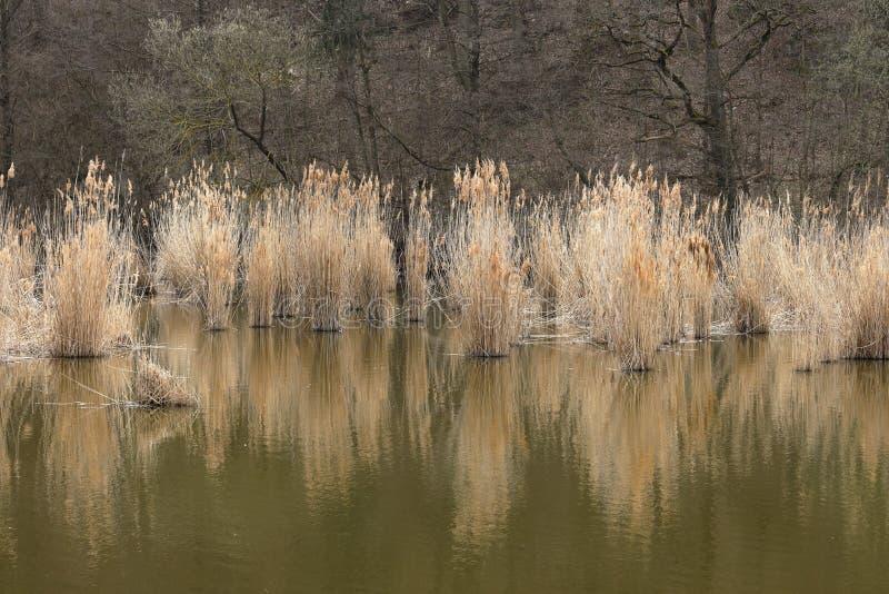 Κάλαμος στη λίμνη και τον υγρότοπο στοκ φωτογραφία με δικαίωμα ελεύθερης χρήσης