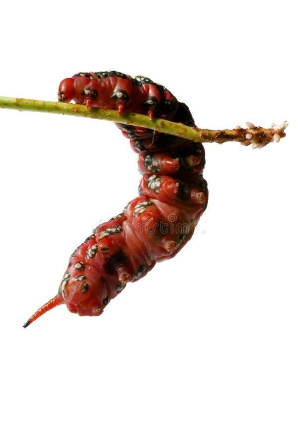 κάμπια που αναρριχείται στο παχύ κόκκινο στοκ εικόνα