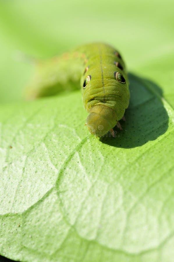 κάμπια πράσινη στοκ εικόνες