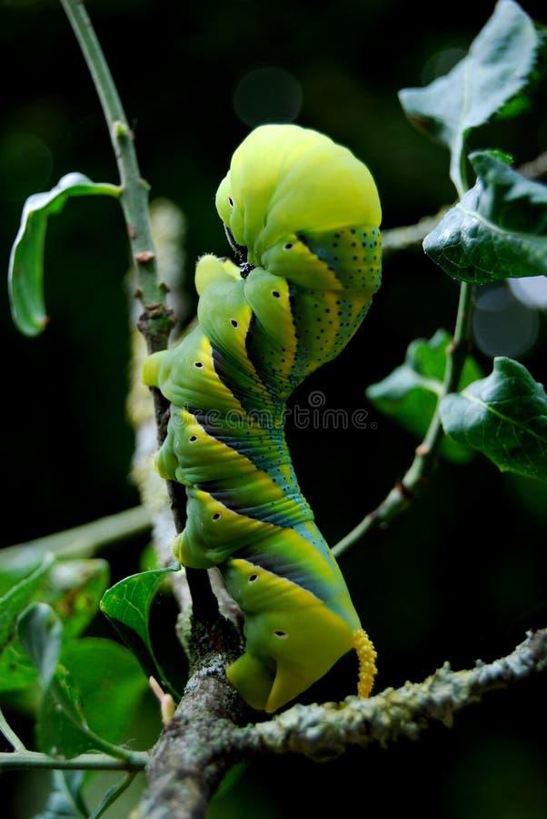 κάμπια atropos acherontia στοκ εικόνα