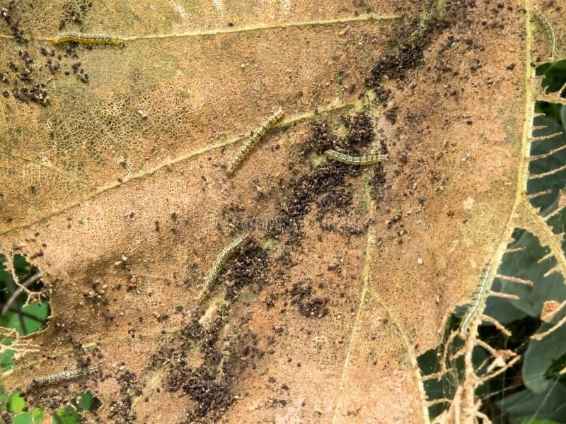 Κάμπιες που τρώνε/απορροφώντας φύλλα του δέντρου Sagwan στοκ φωτογραφία με δικαίωμα ελεύθερης χρήσης
