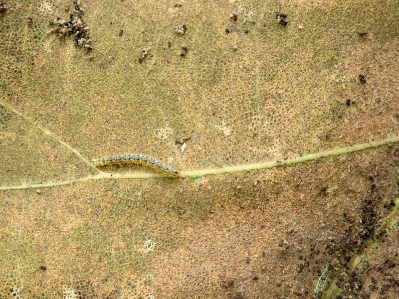 Κάμπιες που τρώνε/απορροφώντας φύλλα του δέντρου Sagwan στοκ εικόνα