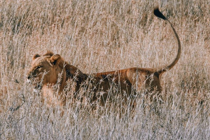 Κάνετε το κρύψιμο λιονταριών στη χλόη στο εθνικό πάρκο Κένυα του Ναϊρόμπι κατά τη διάρκεια του σαφάρι στοκ εικόνες
