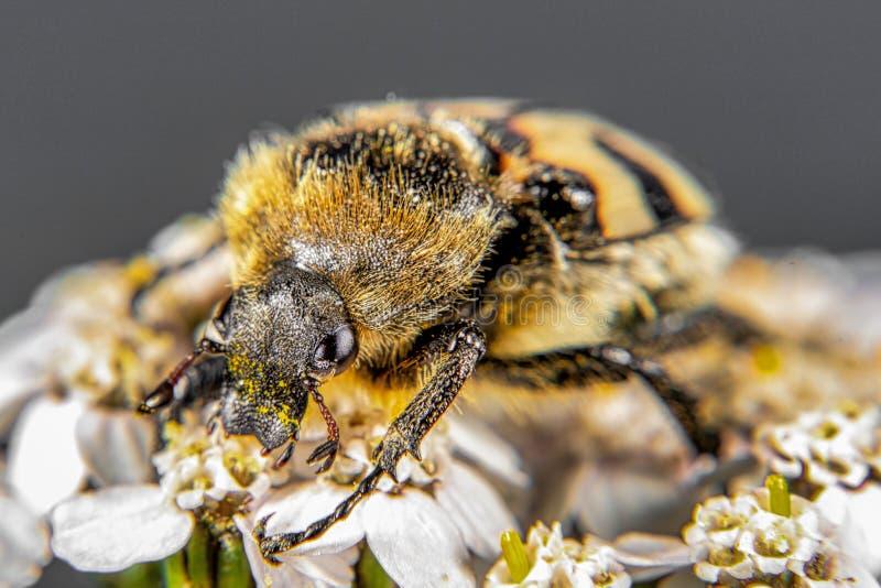 Κάνθαρος μελισσών στοκ φωτογραφίες με δικαίωμα ελεύθερης χρήσης
