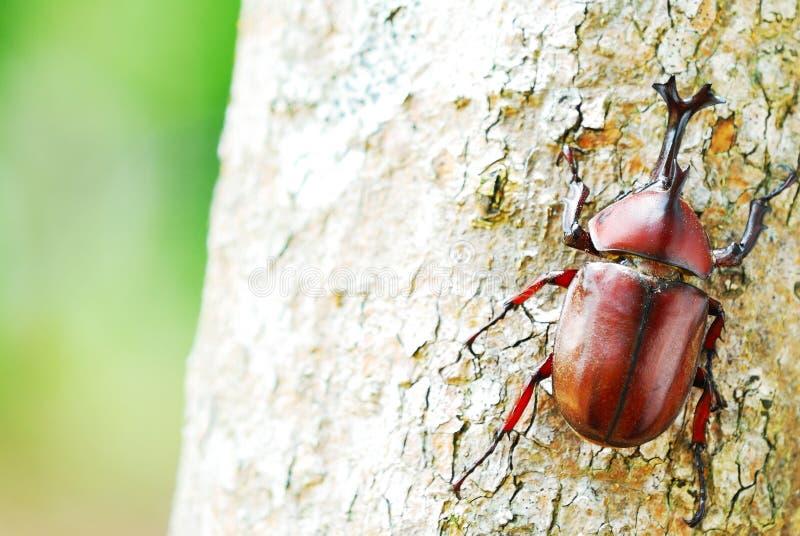 Κάνθαρος ρινοκέρων στον κορμό δέντρων στοκ φωτογραφίες