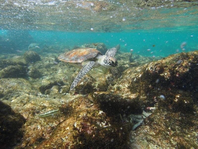 Κάνοντας σερφ πράσινη χελώνα στοκ φωτογραφίες