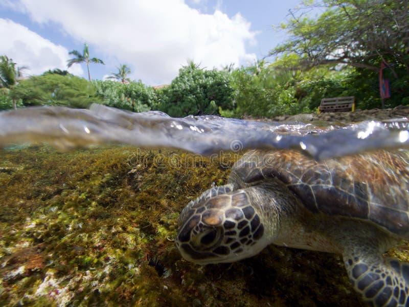 Κάνοντας σερφ πράσινη χελώνα στοκ εικόνες με δικαίωμα ελεύθερης χρήσης
