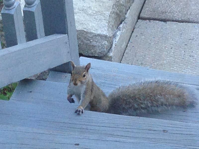 Κάποιος αποφάσισε να έρθει να προγευματίσει, ανειλικρινής σκίουρος στοκ εικόνα