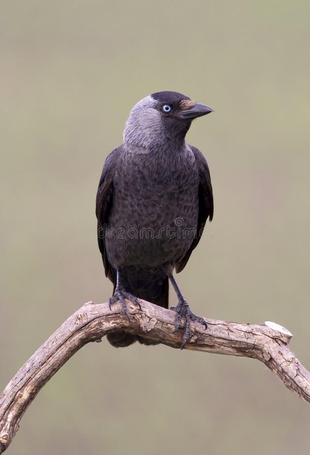 κάργα πουλιών στοκ εικόνες
