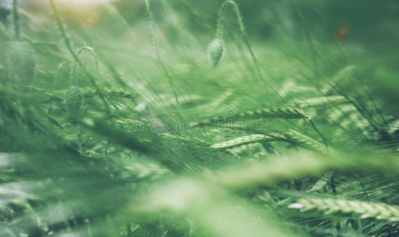 Κάρτα με τον πράσινο σίτο κώνων στον τομέα άνοιξη φύσης υποβάθρου Αγροτικό θολωμένο τοπίο σκηνικό θερινών χωριών στο βουνό ΛΦ ήλι στοκ φωτογραφία με δικαίωμα ελεύθερης χρήσης