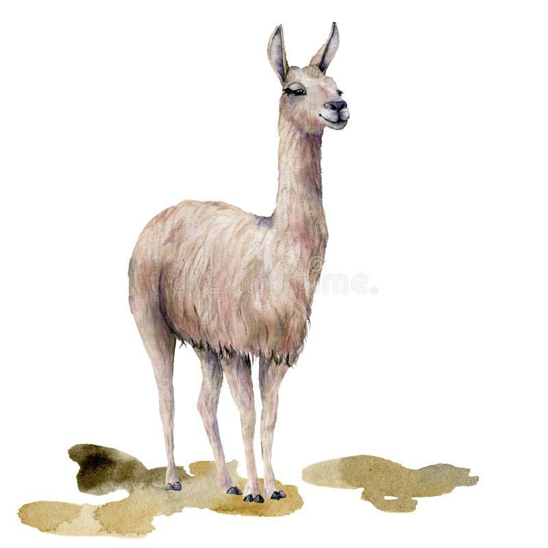 Κάρτα Watercolor με llama στο έδαφος Το χέρι χρωμάτισε την όμορφη απεικόνιση με το ζώο που απομονώθηκε στο άσπρο υπόβαθρο ελεύθερη απεικόνιση δικαιώματος