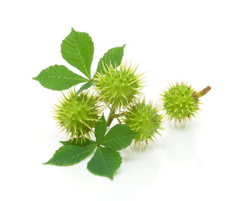 Κάστανα και πράσινα φύλλα σε μια άσπρη κινηματογράφηση σε πρώτο πλάνο ανασκόπησης στοκ εικόνα με δικαίωμα ελεύθερης χρήσης
