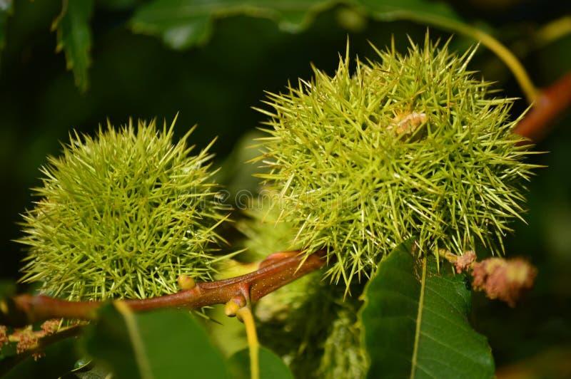 Κάστανα μέσα στο αγκάθι του στα λιβάδια σημύδων Lugo Φύση τοπίων λουλουδιών στοκ φωτογραφίες με δικαίωμα ελεύθερης χρήσης