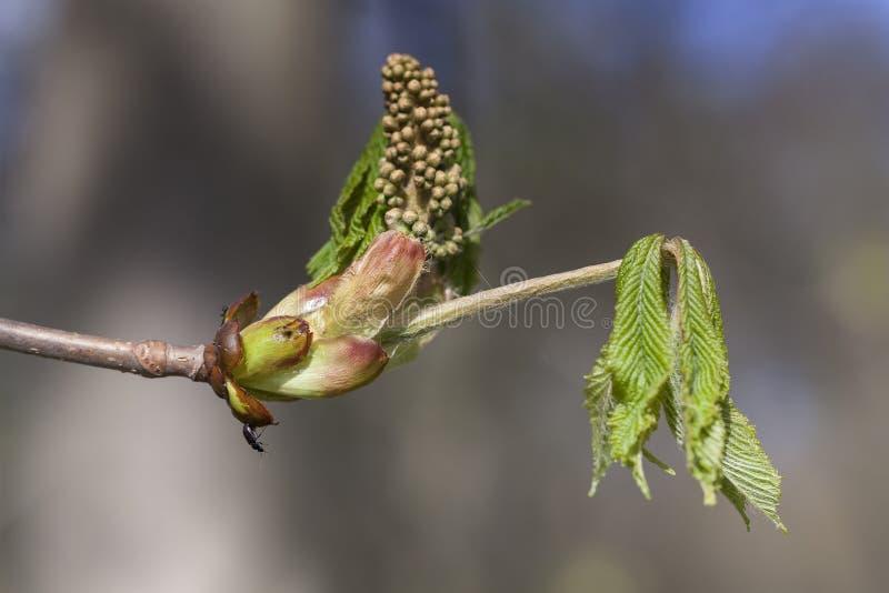 Κάστανο αλόγων - λουλούδι - έντομο στοκ εικόνα