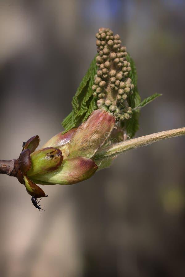 Κάστανο αλόγων - λουλούδι στοκ εικόνες
