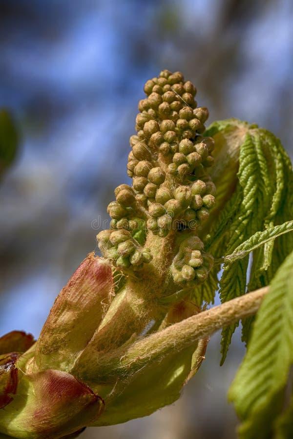 Κάστανο αλόγων - Aesculus - λουλούδι στοκ φωτογραφίες με δικαίωμα ελεύθερης χρήσης