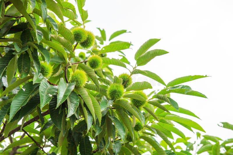 Κάστανο (φρούτα Castanea) στοκ εικόνες