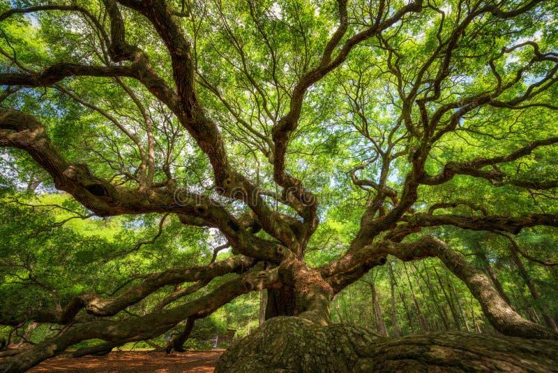 Κάτω από το δρύινο δέντρο αγγέλου στοκ εικόνες