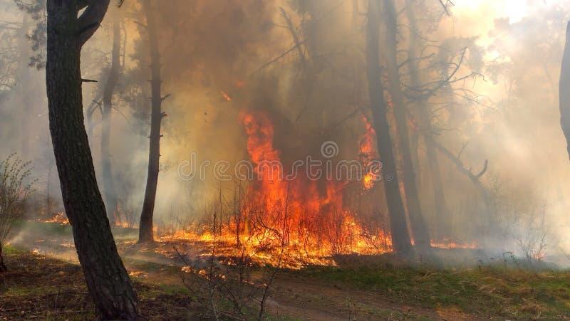 Κάψιμο πυρκαγιάς σε ένα δάσος πεύκων στοκ φωτογραφία με δικαίωμα ελεύθερης χρήσης