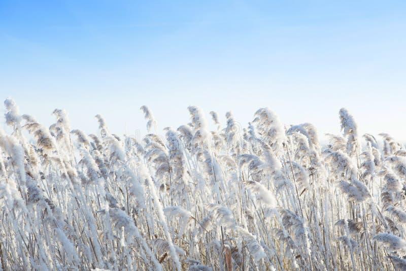 Κάλαμοι από τον αέρα το χειμώνα στοκ εικόνα με δικαίωμα ελεύθερης χρήσης