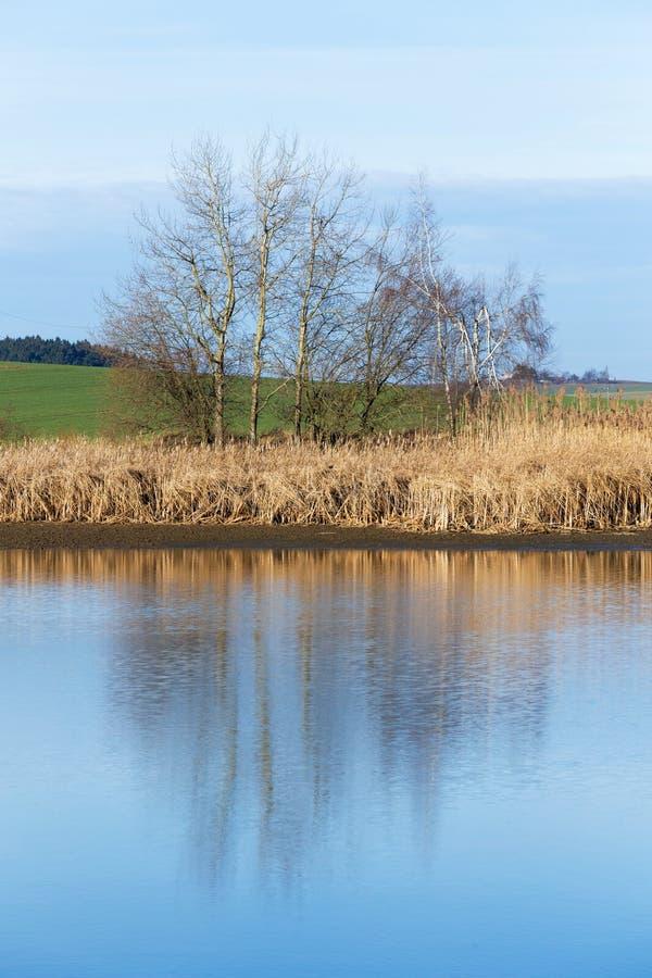 Κάλαμοι στη λίμνη στοκ εικόνα