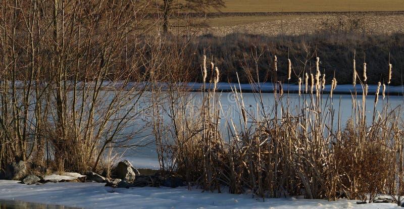 Κάλαμος από την παγωμένη λίμνη στοκ φωτογραφία με δικαίωμα ελεύθερης χρήσης