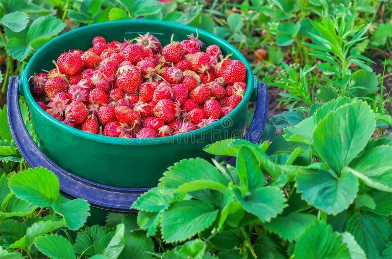 Κάδος των πρόσφατα επιλεγμένων φραουλών στοκ φωτογραφίες με δικαίωμα ελεύθερης χρήσης