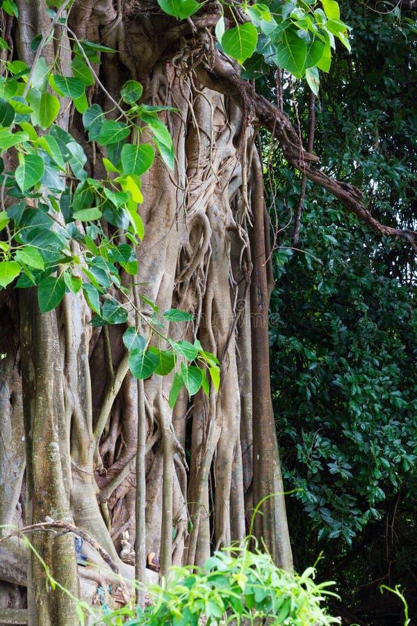 Κάλυψη δέντρων Bodhi ριζών Banyan στοκ φωτογραφίες