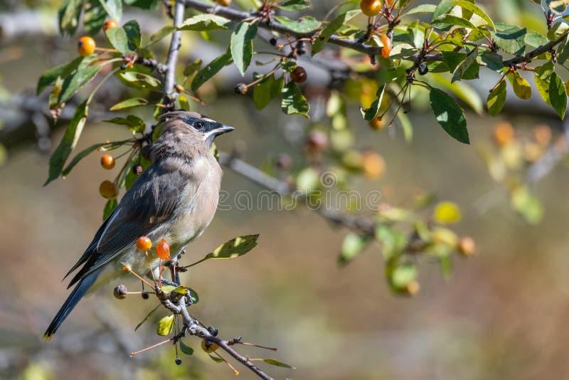 κέδρων πουλιών στοκ φωτογραφίες