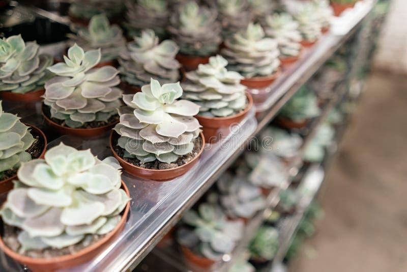 Κέντρο κήπων και χονδρική έννοια προμηθευτών Πολλοί διαφορετικοί κάκτοι στα δοχεία λουλουδιών στα λουλούδια αποθηκεύουν στα ράφια στοκ εικόνες με δικαίωμα ελεύθερης χρήσης