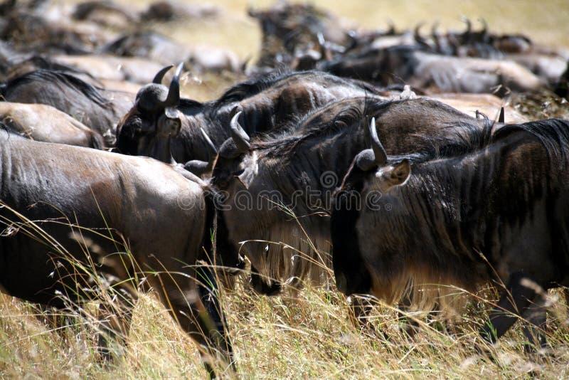 Κένυα η πιό wildebeesη στοκ εικόνα