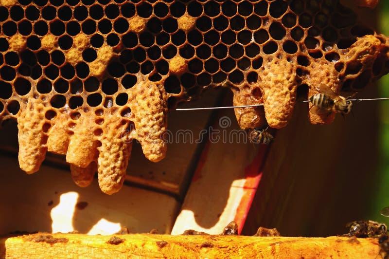 Κέρινο εξοχικό σπίτι για την ανάπτυξη του κεφαλαίου της οικογένειας μελισσών Μέλισσες βασίλισσας στοκ εικόνες