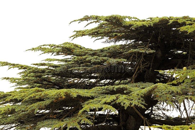 Κέδρος του Λιβάνου σε ένα άσπρο υπόβαθρο στοκ εικόνες
