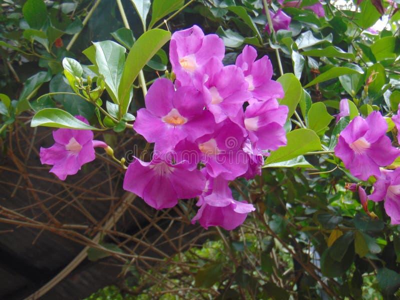 κήποι μωβ άνθη κρεπ φύση στοκ φωτογραφία με δικαίωμα ελεύθερης χρήσης