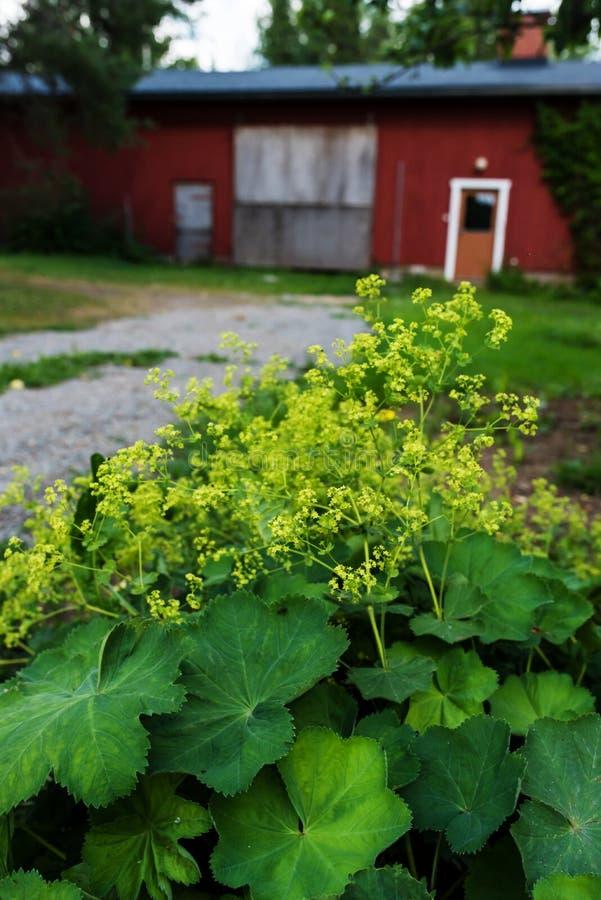 Κήπος γυναικείος ` s-μανδύας στο πλήρες άνθος, θερινή ημέρα στοκ φωτογραφίες