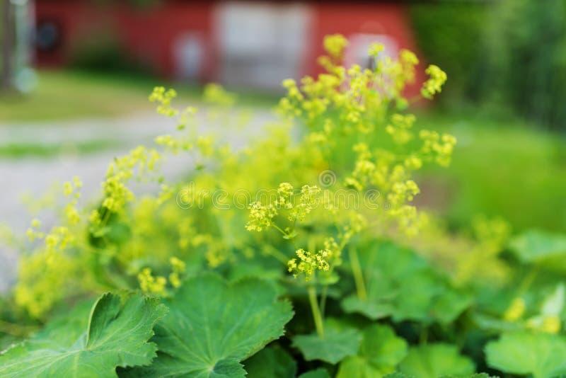 Κήπος γυναικείος ` s-μανδύας στο πλήρες άνθος, θερινή ημέρα στοκ εικόνες