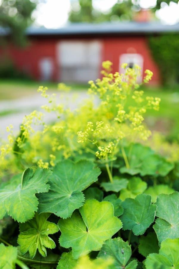 Κήπος γυναικείος ` s-μανδύας στο πλήρες άνθος, θερινή ημέρα στοκ φωτογραφία με δικαίωμα ελεύθερης χρήσης