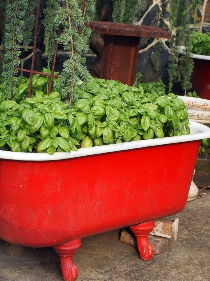 Κήπος εμπορευματοκιβωτίων χορταριών βασιλικού στοκ φωτογραφία