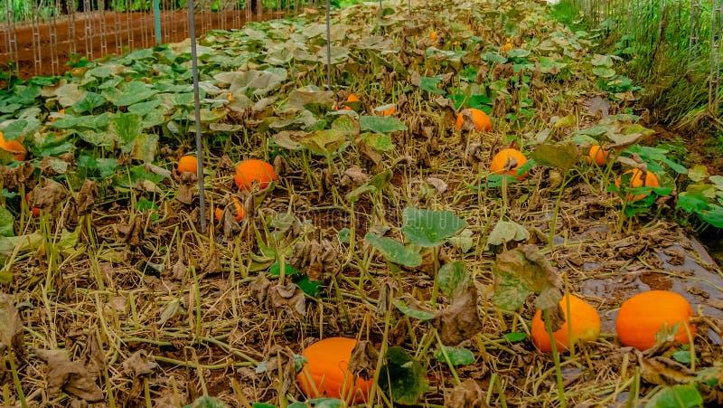 Κήπος κολοκυθών στοκ φωτογραφία