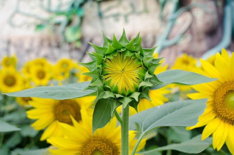 Κήπος λουλουδιών ήλιων στοκ εικόνες