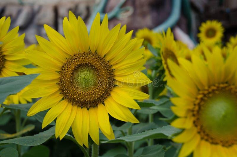 Κήπος λουλουδιών ήλιων στοκ εικόνες με δικαίωμα ελεύθερης χρήσης
