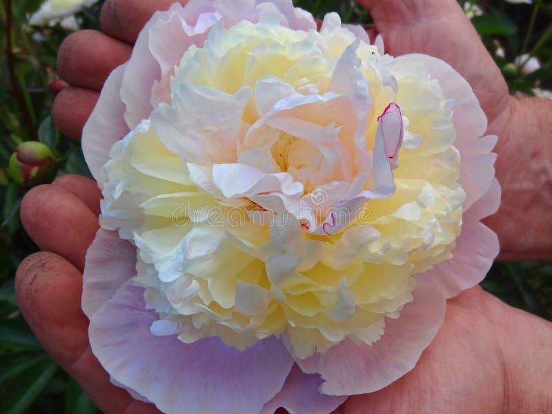 Κήπος λουλουδιών περικοπής κηπουρών ατόμων r στοκ εικόνες