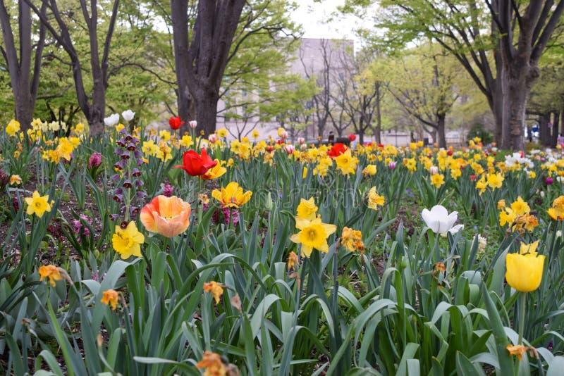Κήπος λουλουδιών στην Ουάσιγκτον, συνεχές ρεύμα που περιέχουν daffodils και τουλίπες των διαφορετικών χρωμάτων στοκ εικόνα