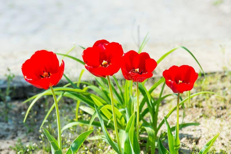 Κήπος λουλουδιών τουλιπών την άνοιξη στοκ εικόνα με δικαίωμα ελεύθερης χρήσης
