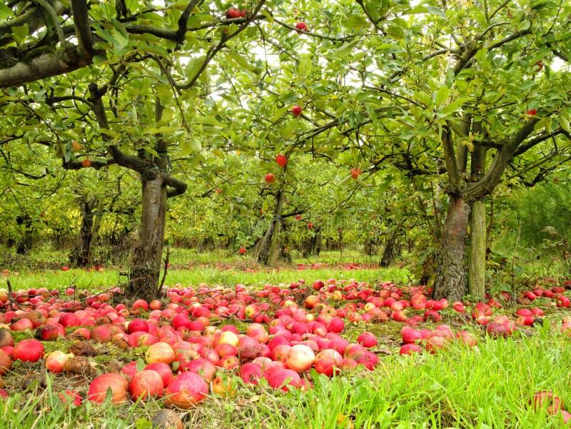 Κήπος με τα κόκκινα μήλα κάτω από τα δέντρα στοκ φωτογραφίες