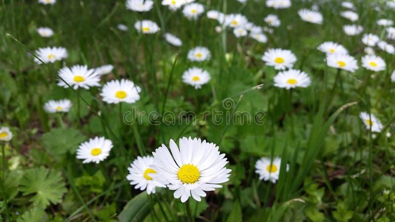 Κήπος με τη μαργαρίτα στοκ φωτογραφίες