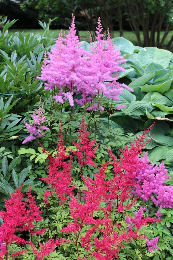 Κήπος με τις πορφυρές και ρόδινες εγκαταστάσεις astilbe στοκ εικόνες με δικαίωμα ελεύθερης χρήσης