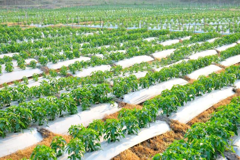 Κήπος πιπεριών τσίλι, φυτικό furrow στοκ εικόνα με δικαίωμα ελεύθερης χρήσης